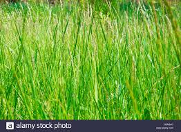 tall green grass field. Field Of Natural Tall Green Grass In Meadow