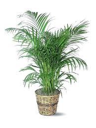 low maintenance office plants. Low Maintenance Office Plants Palm Light Outdoor