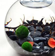 how to create a unique marimo moss ball terrarium container water gardens