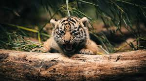 ultra hd baby tiger 4k backgrounds 1920x1080