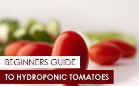 The Beginners Guide To Hydroponic Tomatoes Upstart University
