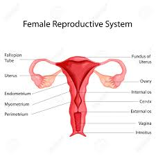 Female Organ Chart Education Chart Of Biology For Female Reproductive System Diagram