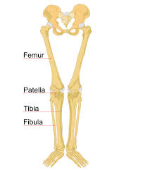 Leg Wikipedia Human Leg Bones Labeled Human Leg Wikipedia The Free