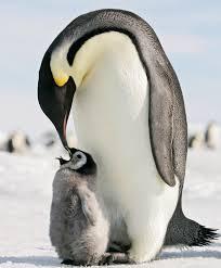 emperor penguins eating. Interesting Eating Predators Of Emperor Penguins Feeding Time To Penguins Eating