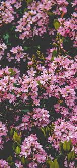 Many pink lilac flowers bloom, spring ...