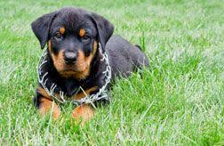 Rottweiler Puppy Growth Chart This Handy Rottweiler Puppy Growth Chart Can Help Answer