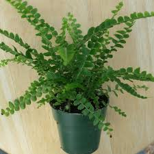 Button Fern Light Requirements Lemon Button Fern Sixth In A Series Common Name Lemon