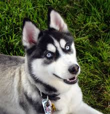 black husky puppies with blue eyes. Perfect With FileSiberian Husky Blue Eyes Flickrjpg For Black Puppies With Blue Eyes P