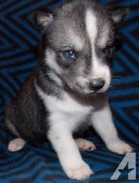 grey husky puppies with blue eyes. Interesting Grey Husky Siberian Pets And Animals For Sale In The USA  Puppy Kitten  Classifieds Page 131 Buy Sell Kittens Puppies AmericanListed And Grey Husky Puppies With Blue Eyes I