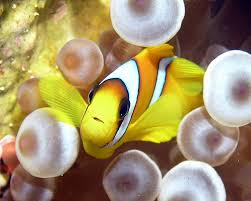 different colored clown fish. Beautiful Clown Photo Link Inside Different Colored Clown Fish I