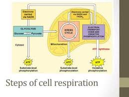 Stages Of Cellular Respiration Youtube