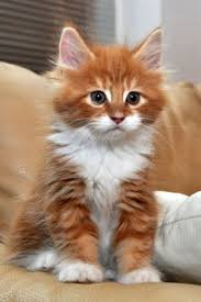 fluffy white and orange cats. Exellent Cats The White Chest U0026 Paws On This Orange Kitty Is Amazing What A Regal  Kitten Inside Fluffy White And Orange Cats