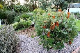Small Picture Brilliant Garden Ideas Australian Native Photo Of A Design From