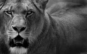 Angry Lions Hd Wallpaper Lions Angry 1861675 Hd