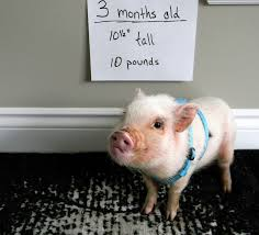 Mazuri Mini Pig Feeding Chart Mini Pig Oscars 3 Month Weigh In Life With A Mini Pig