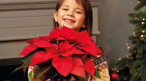 Weihnachtsstern Amaryllis So Halten Adventsblüher Das