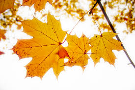 Maple Autumn Leaves Ppt Background For Powerpoint Templates Ppt