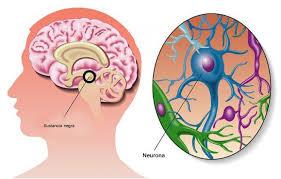 sustancia negra funciones anatomía y