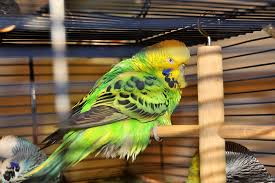Budgie Disease Symptoms Health Problems Budgie Guide