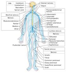 Cns And Pns Chart Peripheral Nervous System Wikipedia