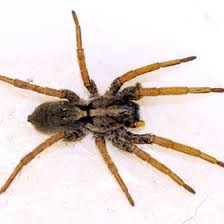 Brown Spiders Common In Louisiana