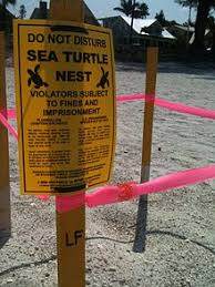 wildlife conservation the marking off of a sea turtle nest anna maria fl 2012