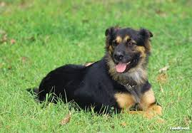 german shepherd rottweiler mix puppies. Simple Rottweiler Physical Characteristics Of A Rottweiler German Shepherd Mix   Guide On Puppies R