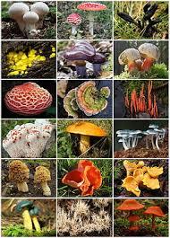 Грибы Википедия Грибы fungi diversity jpg