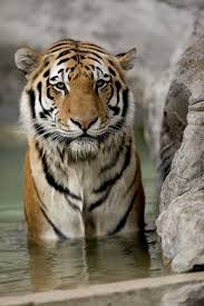 Asian words for tiger