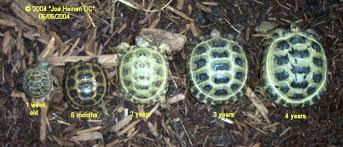 Russian Tortoise Grow Chart Russian Tortoise Tortoise
