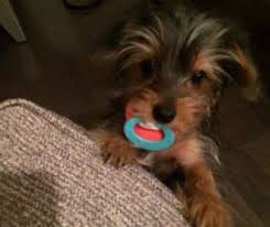 Puppy Teething Age Chart Yorkie Teething Yorkshire Terrier Information Center