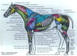 Pin By Linda Boggs On Horses Horse Anatomy Horses Muscle