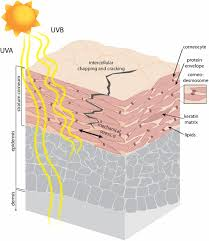Solar Uv Radiation Reduces The Barrier Function Of Human