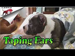 American Bully How We Post And Tape Cropped Ears