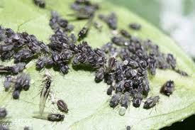 garden pest. Aphids Are A Common Vegetable Garden Pest. Pest R
