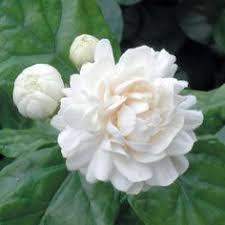 Image result for images of jasmine flower