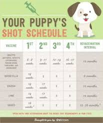 Beagle Puppy Feeding Chart 273 Best Havanese Puppies Images In 2019 Havanese Puppies