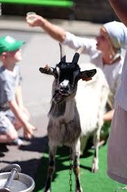 Znalezione obrazy dla zapytania koza zagroda powroty