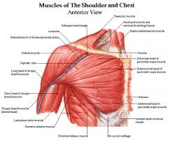 chest muscle diagram   anatomy human body    chest muscle diagram tag chest muscle diagram workout human anatomy diagram