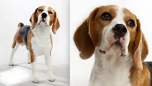 dog breeds alphabetical. Delighful Breeds Hound Dog Breeds Previous Beagle Beagle  Throughout Breeds Alphabetical