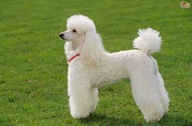 about teddy bear teacup and toy poodles q and a are poodles good with kids and retired people