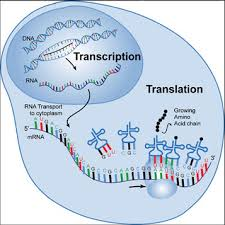 Amino Acid Translation Chart Transcription And Translation Heredity