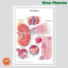 Wall Chart Of Human Anatomy 3d Medical Human Anatomy Wall Charts Poster The Kidney Buy 3d Chart Human Anatomy Wall Poster The Kidney Product On Alibaba Com