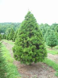 Our Virginia pines for 2017 are 7 to 9 feet tall. This species has light  green needles that are short and stiff but not nearly as prickly as Norway  spruce.