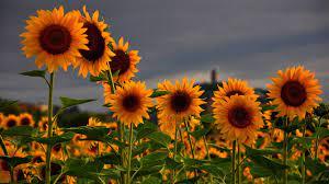 Aesthetic Sunflower Desktop Wallpaper ...