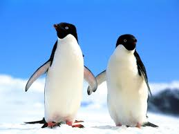 penguin desktop wallpaper. Simple Penguin Penguin Wallpaper Free In Desktop