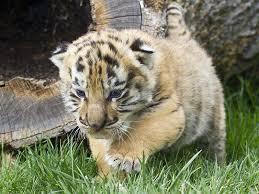 cute baby tiger wallpaper. Plain Baby Baby White Tiger Wallpapers Wallpaper To Cute W