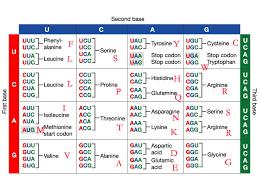 Amino Acid Translation Chart Transcription Translation Mr Rotts Science Room