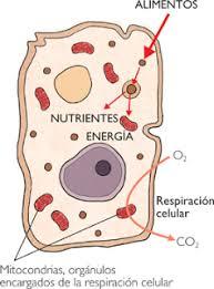 nutricion celular: metabolismo en células heterotrofas