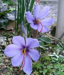 Crocus sativus - Wikipedia